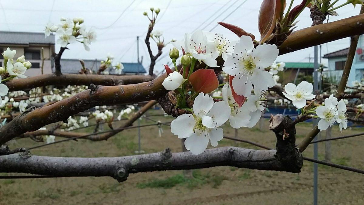 梨の花。桜の花。