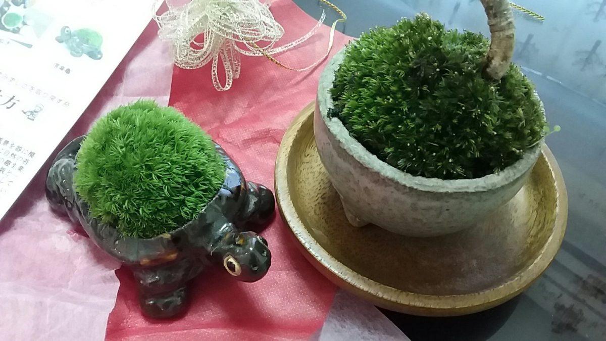 苔盆栽おかわり。みなっ亀